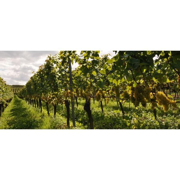 Weingut Wagner Stempel VDP Rheinhessen Pinot Noir (Spätburgunder)-33
